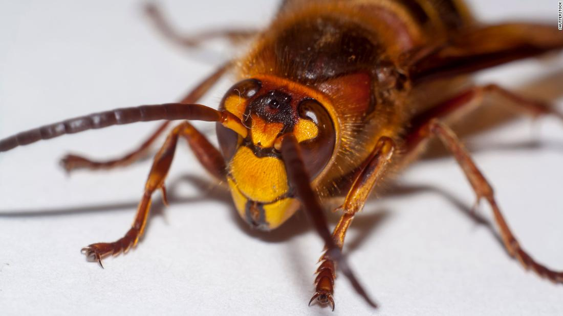 """The Asian giant hornet is nicknamed the """"murder hornet."""" And yes, it's as bad as it sounds."""