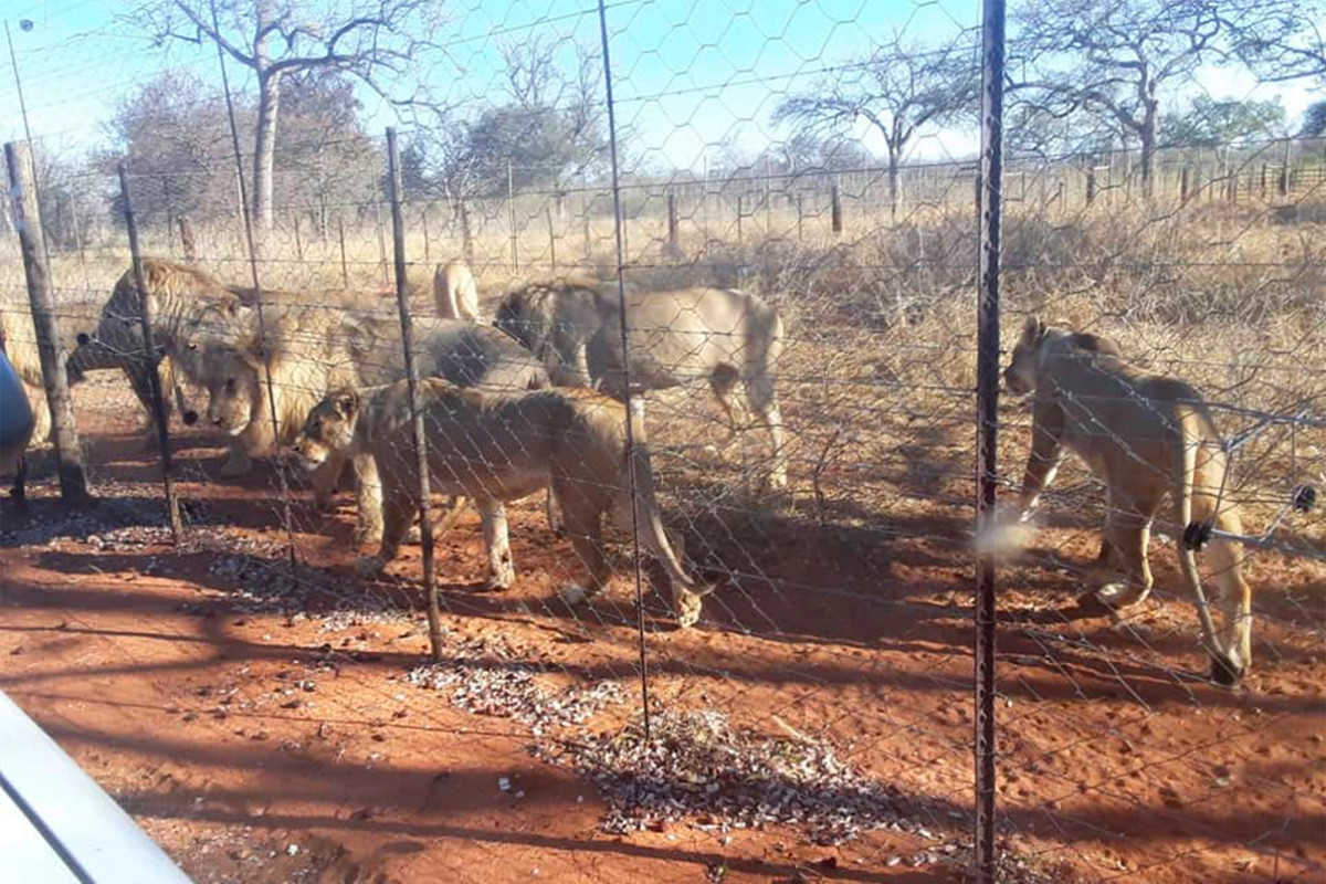 Lions escape from farmland shot by hunters in South Africa