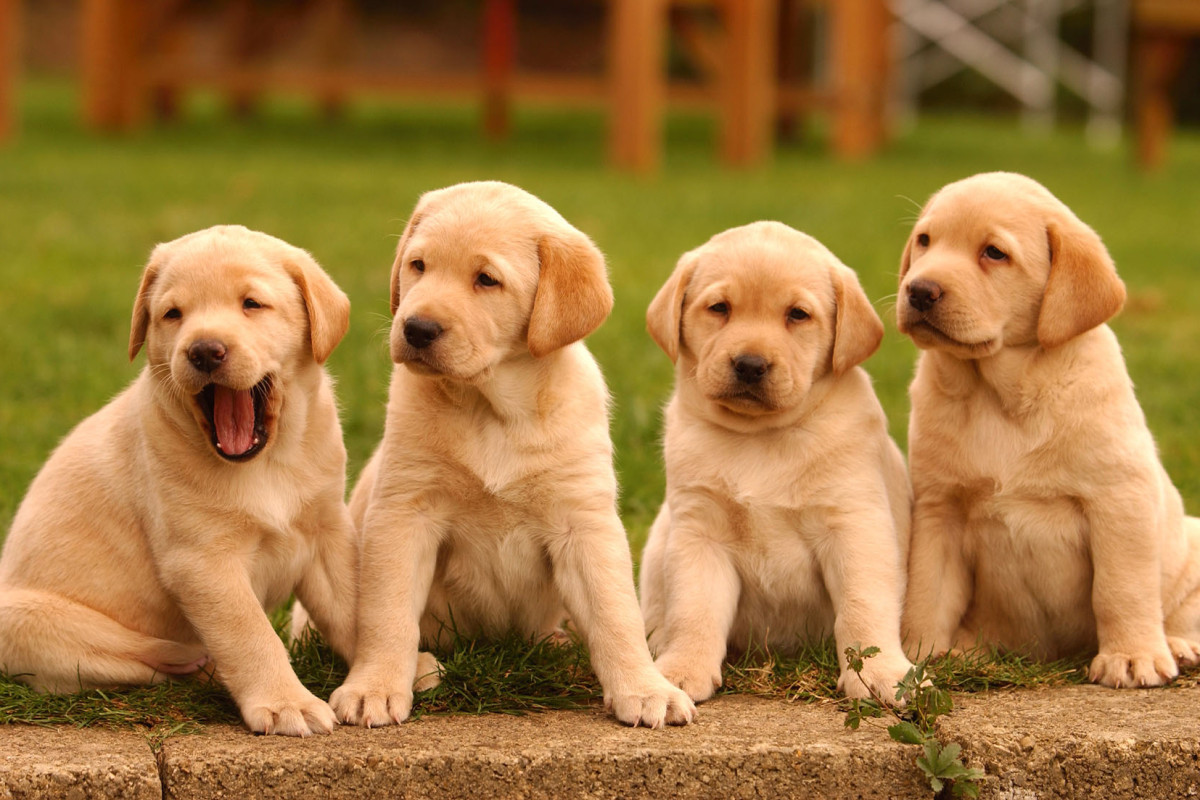 Fraudsters selling online puppies that were not present during coronavirus infections