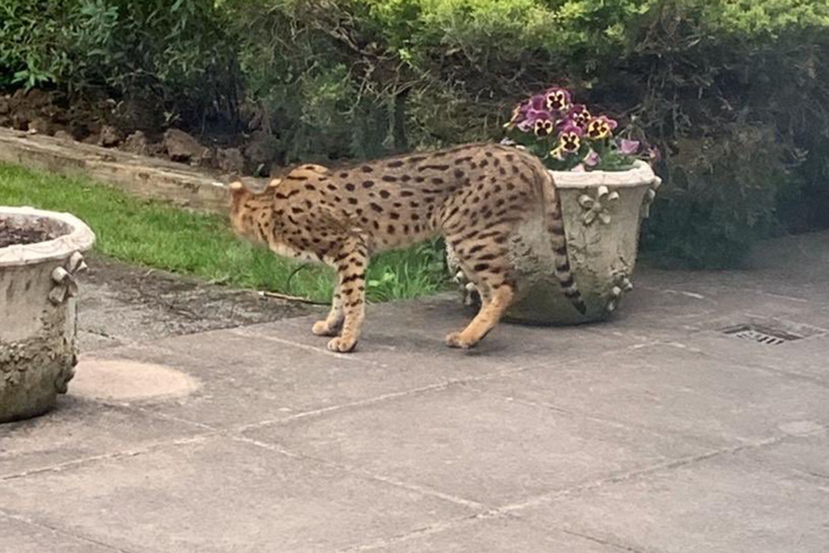 A loose 'dangerous wildcat' in London turns into a pet