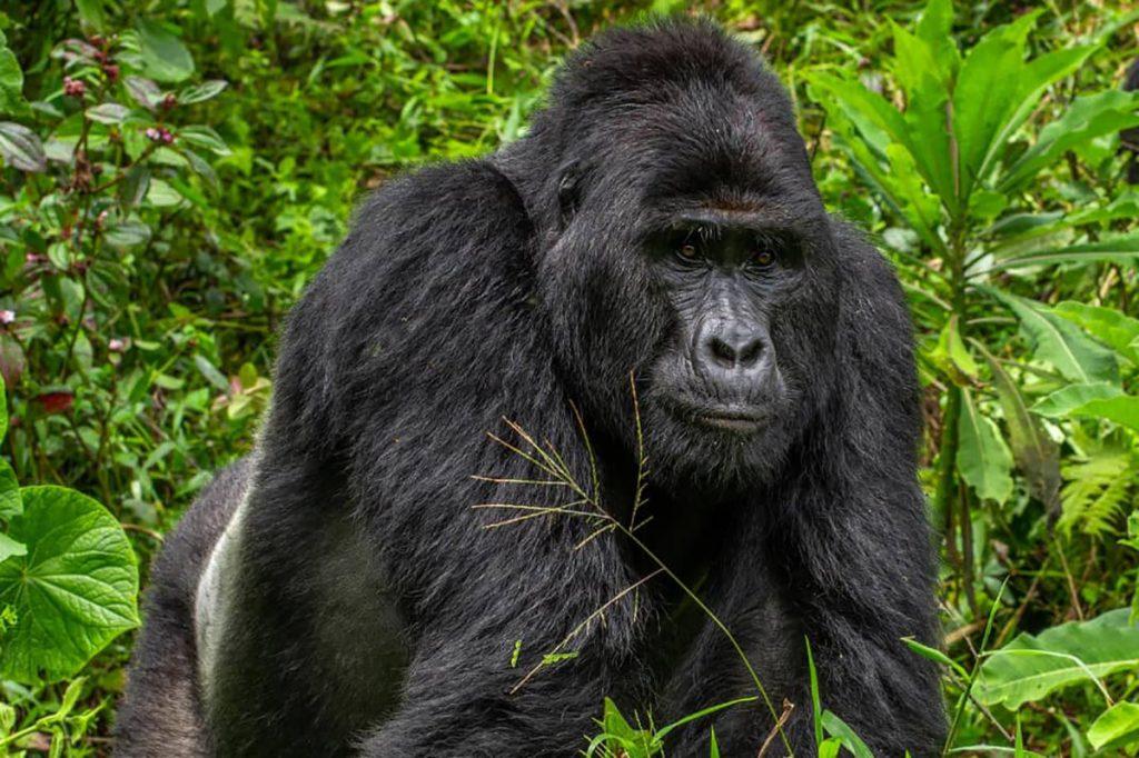 Four men arrested for killing world-famous gorilla in Uganda, Rafiki