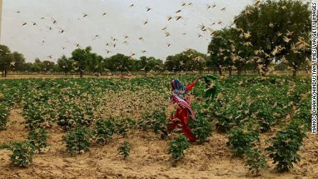New Delhi on high alert after desert locusts swarm through neighboring Gurgaon