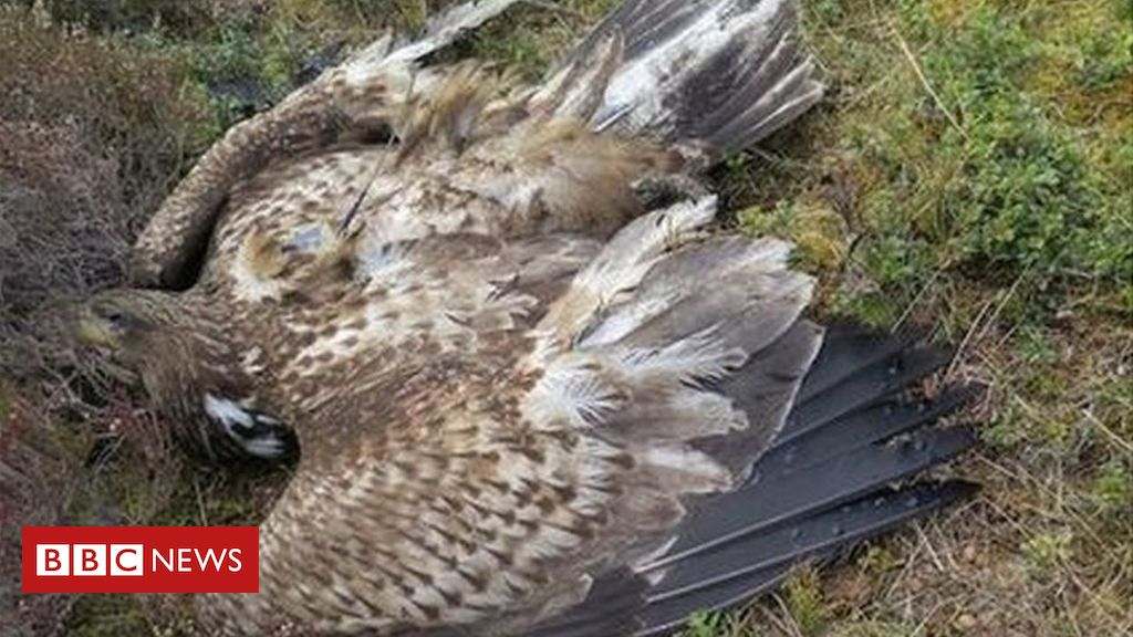 Rare sea eagle found dead in Aberdeenshire had been poisoned