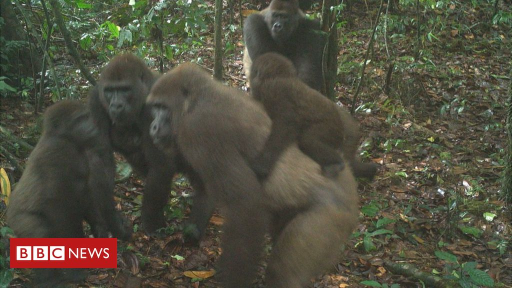 World's rarest great ape pictured with babies