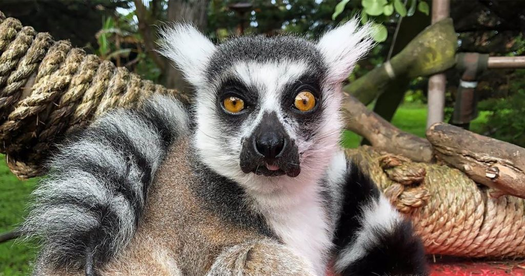 Maki, stolen from the San Francisco Zoo, is safe in the nearby city of Lemur