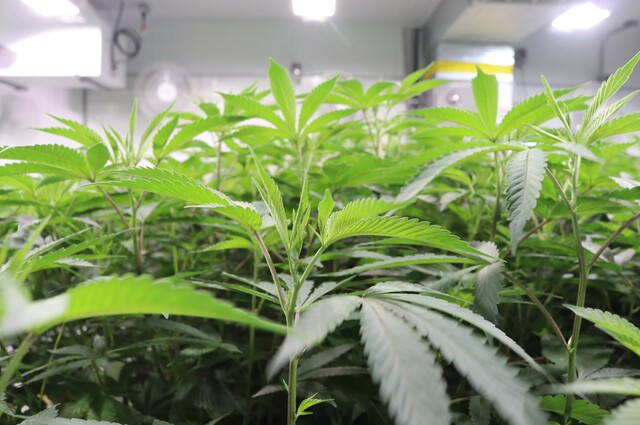 Aurora marijuana to lay off 214 workers, Chief Science Officer to retire - Business News