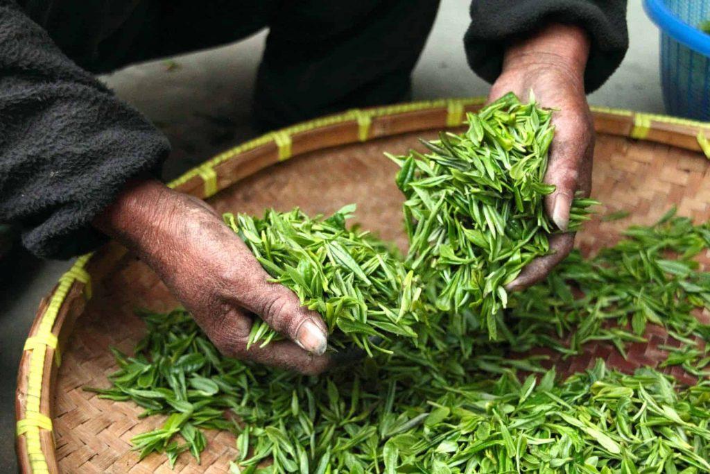 Illustration. Des feuilles de thé.
