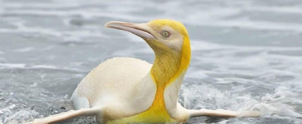 Rare yellow penguin photo taken