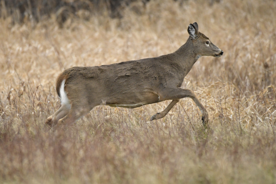 Scientists recommend killing 40 deer in East Montreal
