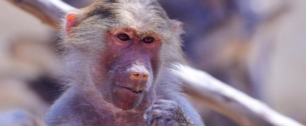 End of the run for Faithless Baboon in Cape Town