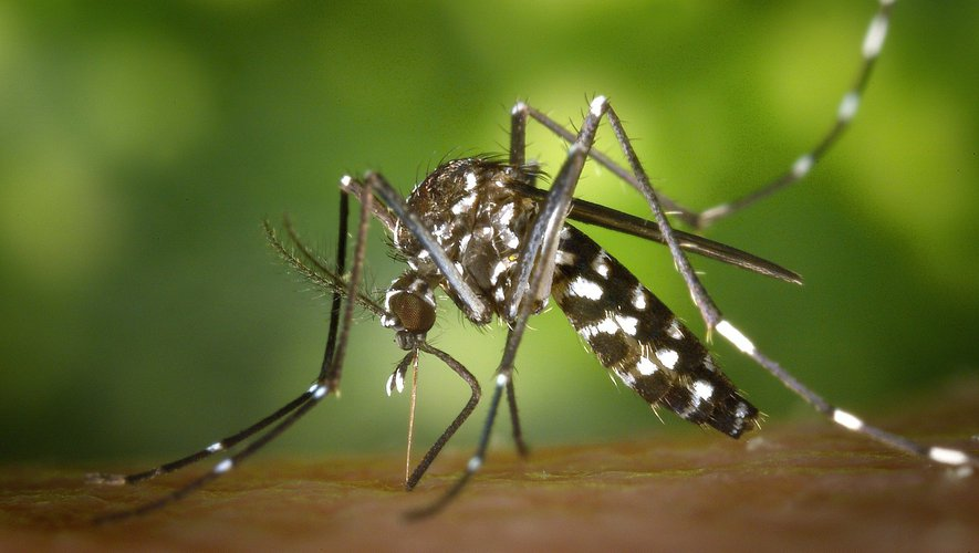 """More than 140,000 genetically modified mosquitoes have been released into the wild to fight the spread of the """"tiger""""."""