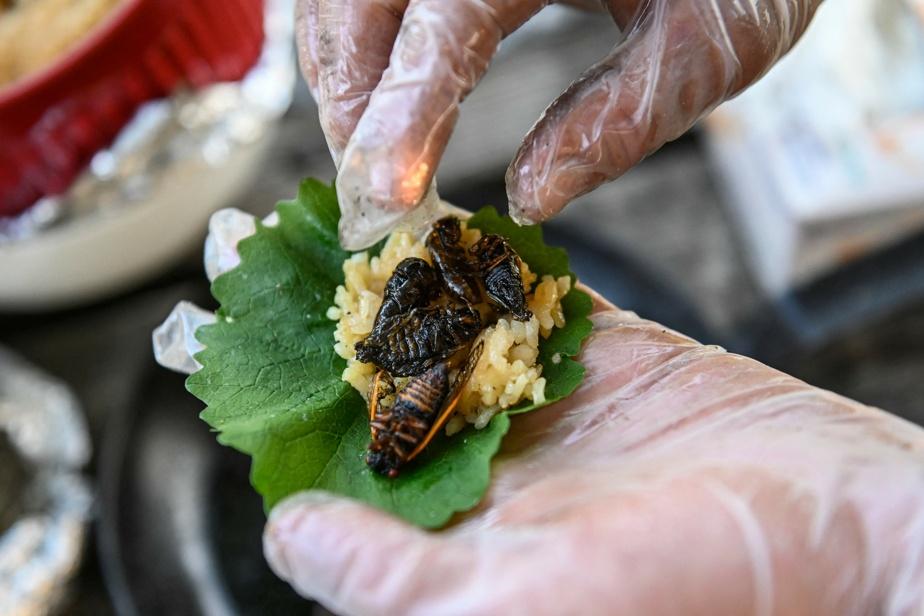 On the menu: Cicada Sushi