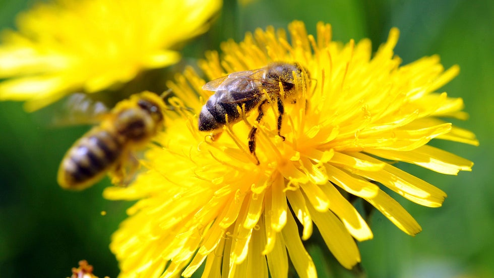 Scientists train bees to detect coronavirus infection