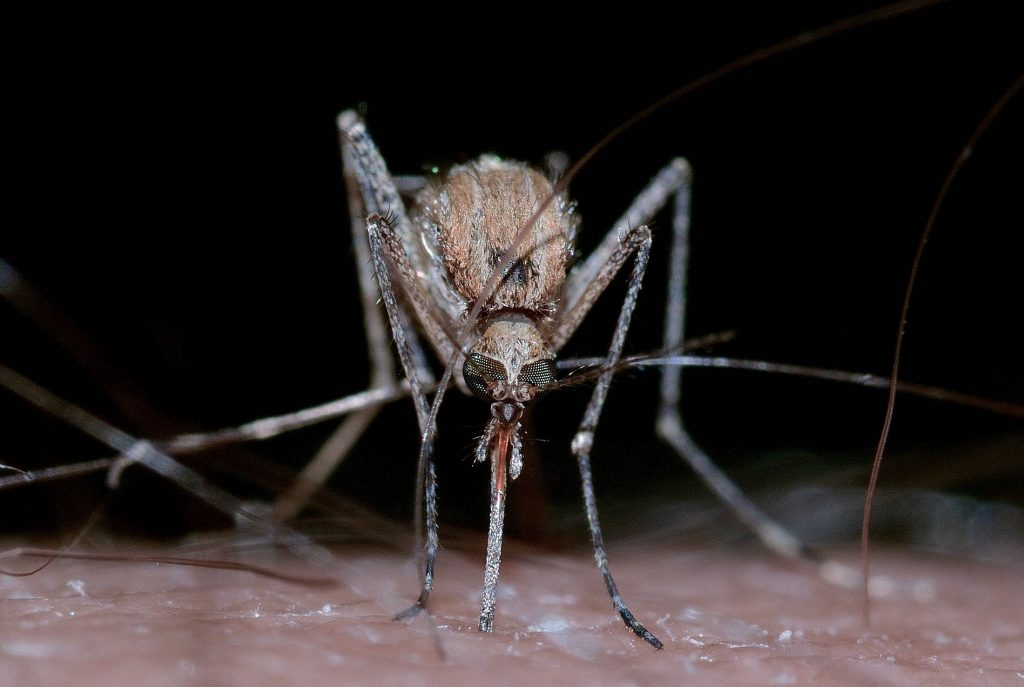 Bacterial mosquitoes reduce the incidence of dengue fever