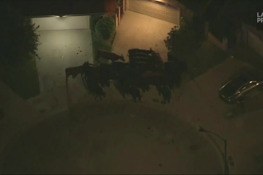 Cows escape from a slaughterhouse in Los Angeles