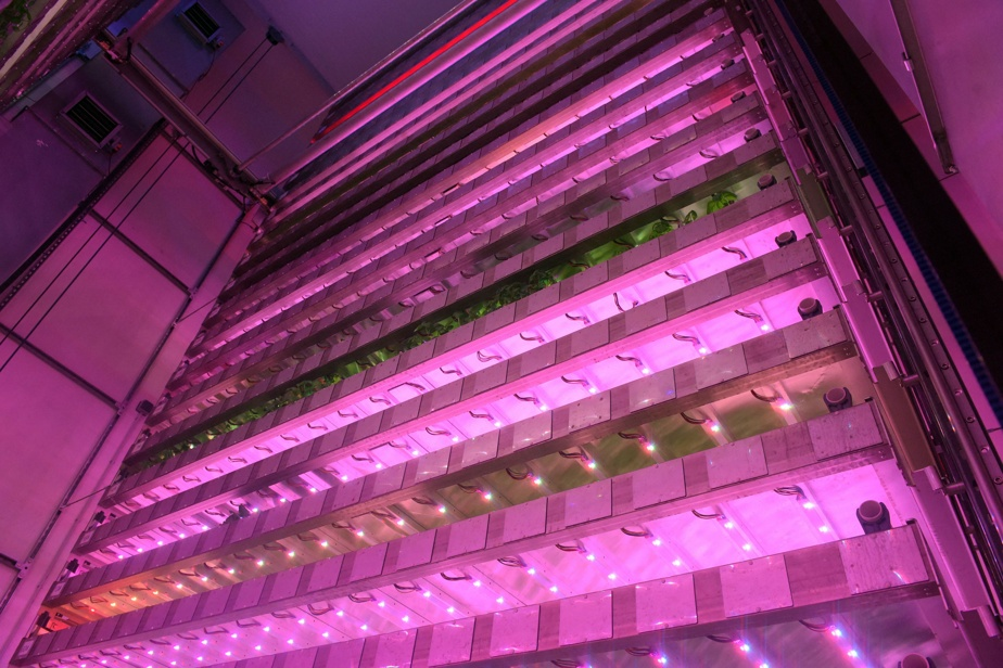 In the jungle vertical farm, the aromatic herbs see life in pink