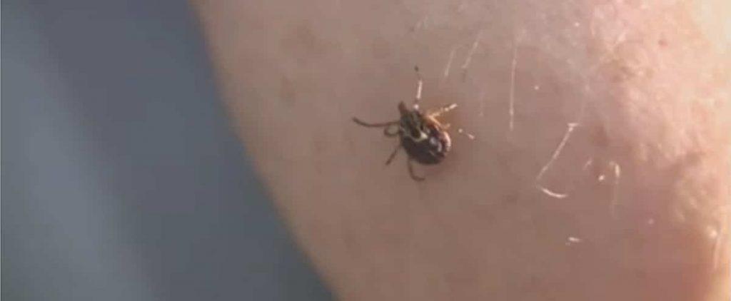 Ticks: Small, but dangerous