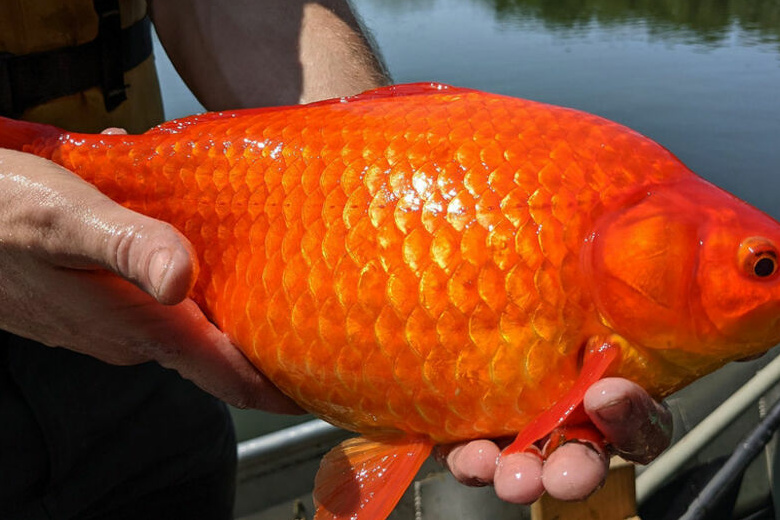 Giant goldfish in Minnesota waters