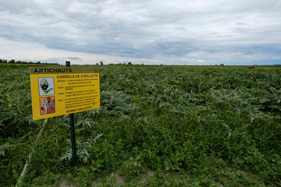 Artichokes fields on the La Phille du Roy farm
