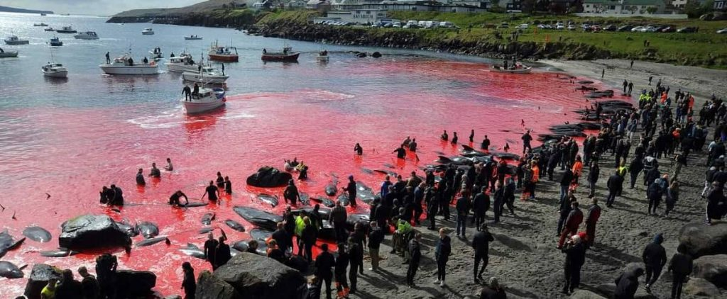 In the Faroe Islands, emotion after killing 1,400 dolphins