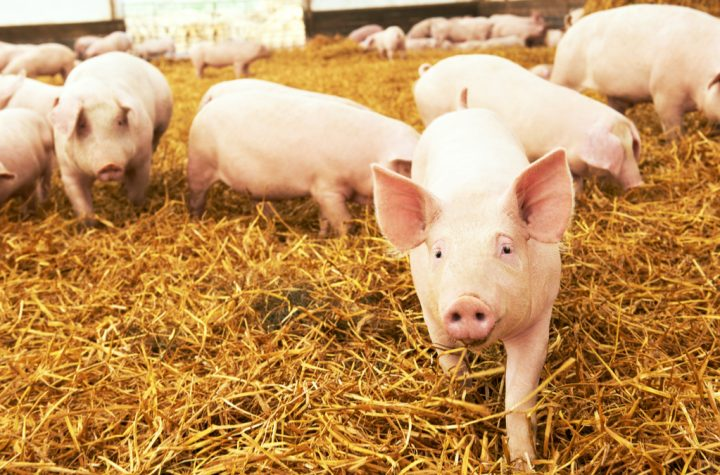 A pig kidney was successfully transplanted into a human